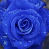 gratis-blauwe-roos-moederdag